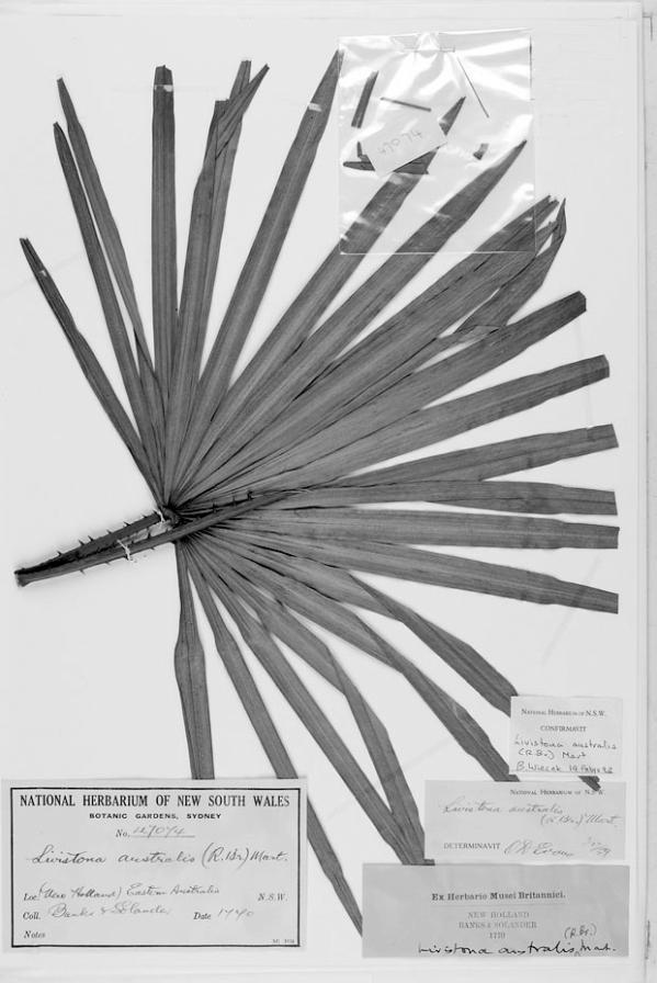 Livistona australis (R.Br.) Mart.